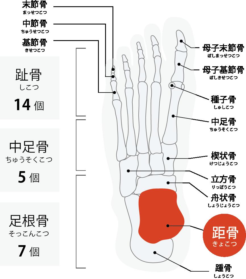 足の骨の説明